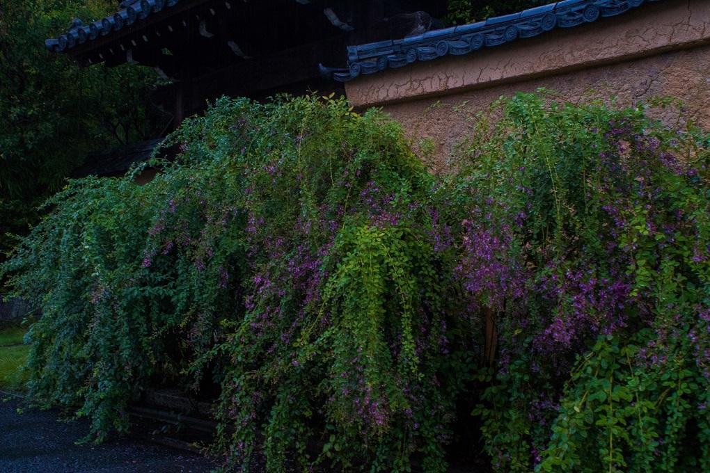 土塀に咲く萩~迎称寺_e0363038_21290262.jpg