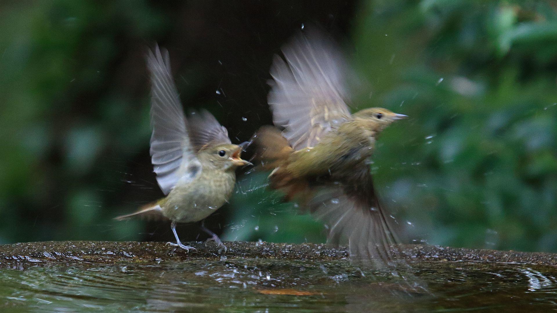 キビタキ幼鳥どうしのバトル_f0105570_11371365.jpg