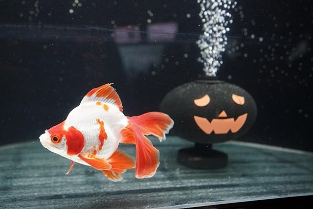 新江ノ島水族館のハロウィン②_b0145398_23423151.jpg
