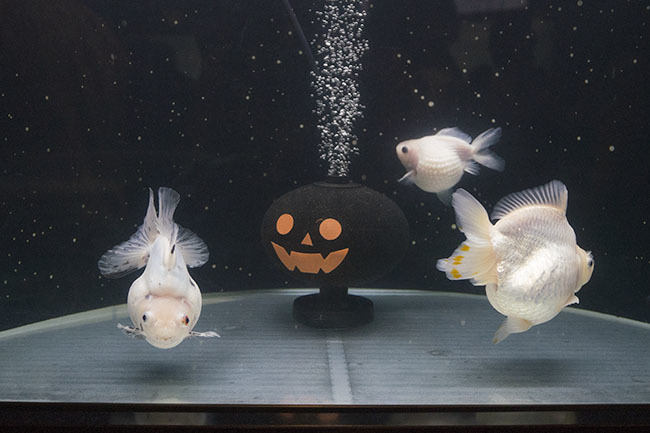 新江ノ島水族館のハロウィン②_b0145398_23432407.jpg