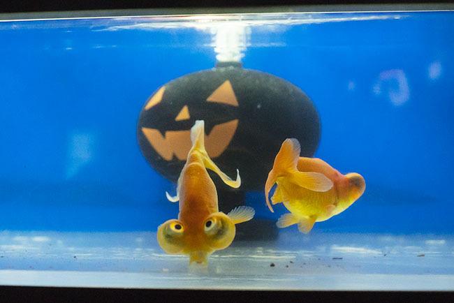 新江ノ島水族館のハロウィン②_b0145398_23440256.jpg