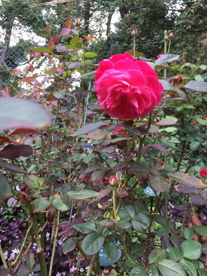 2018年10月月例会「バラの周辺整備 野ばら、植栽 草花整理」_a0094959_01222772.jpg