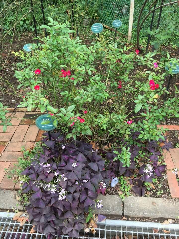 2018年10月月例会「バラの周辺整備 野ばら、植栽 草花整理」_a0094959_01253613.jpg