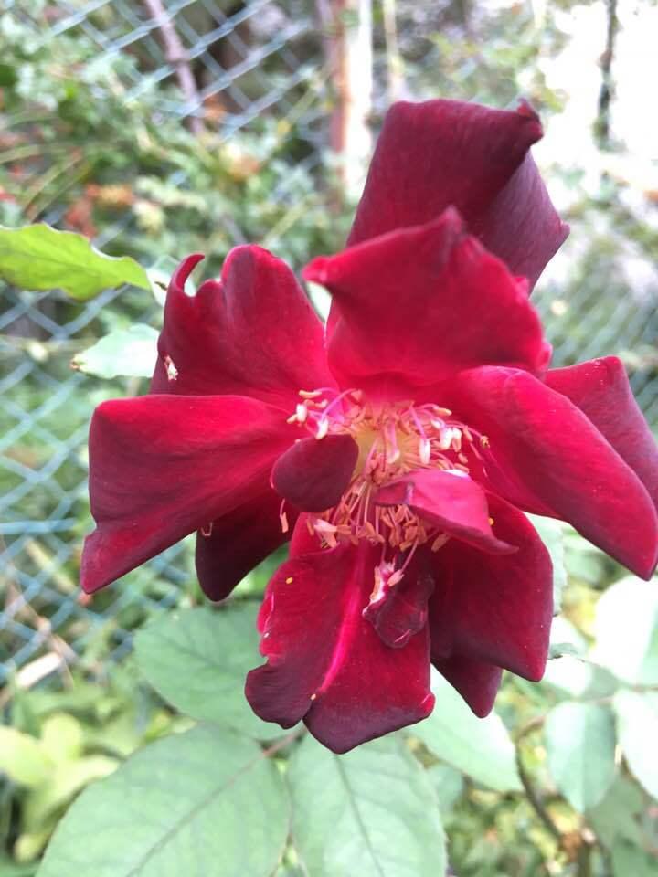 2018年10月月例会「バラの周辺整備 野ばら、植栽 草花整理」_a0094959_01261934.jpg