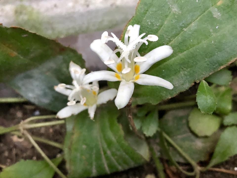 咲かぬなら それもまた良し ホトトギス_c0123363_1572221.jpg