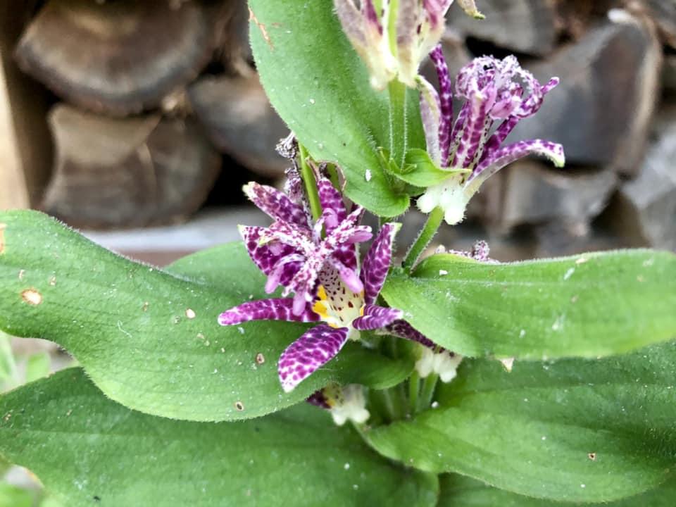 咲かぬなら それもまた良し ホトトギス_c0123363_158028.jpg