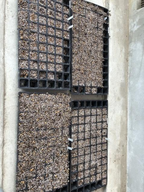 植えっぱなしで良い球根「アイフェイオン」(ハナニラ)、チューリップと種まき_a0243064_17563243.jpg