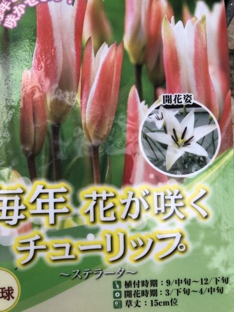 植えっぱなしで良い球根「アイフェイオン」(ハナニラ)、チューリップと種まき_a0243064_18003091.jpg