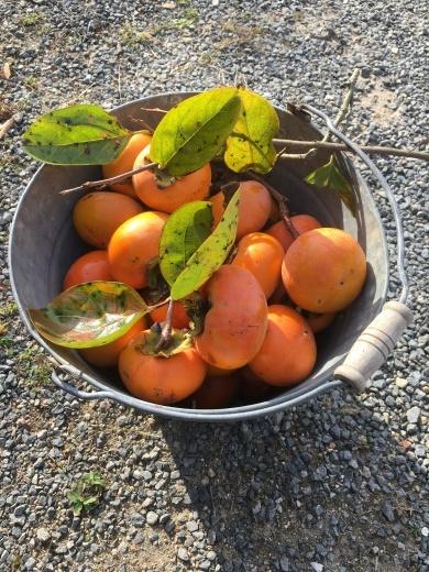 『今年の柿は裏年ですが』&『11月イベントの予告です』_c0334574_19261725.jpg