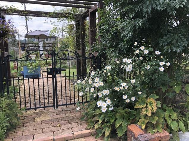10月の庭「庭入り口の白色秋明菊が見頃になりました」_a0243064_18381050.jpg