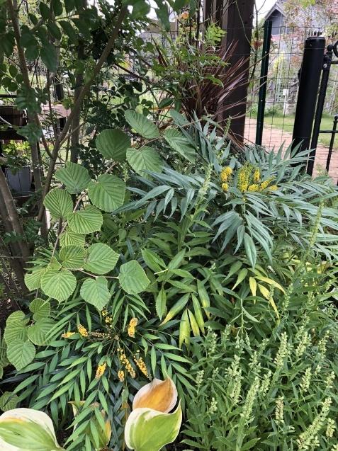 10月の庭「庭入り口の白色秋明菊が見頃になりました」_a0243064_18415765.jpg