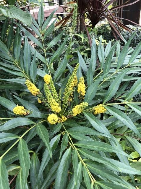 10月の庭「庭入り口の白色秋明菊が見頃になりました」_a0243064_18421833.jpg