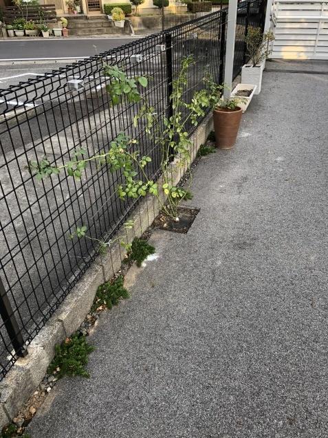 10月の庭「庭入り口の白色秋明菊が見頃になりました」_a0243064_19093069.jpg