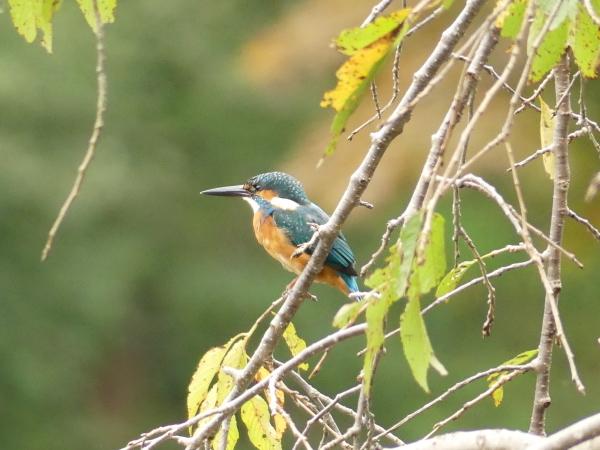 秋の野鳥たち_a0351368_23025999.jpg