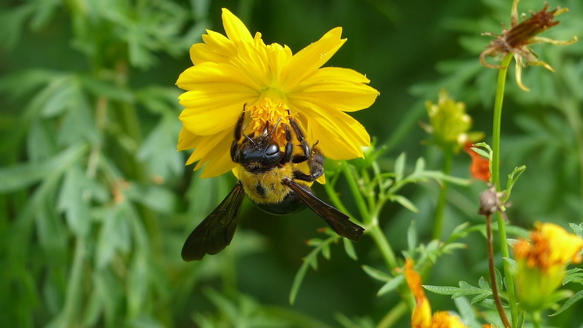 昆虫すごいぜ! クマバチ_a0185081_11154083.jpg
