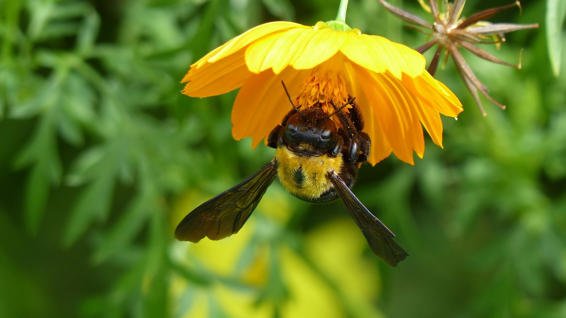 昆虫すごいぜ! クマバチ_a0185081_11155546.jpg