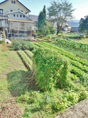 兼業農家の家庭菜園は今・・・_c0336902_12225176.jpg