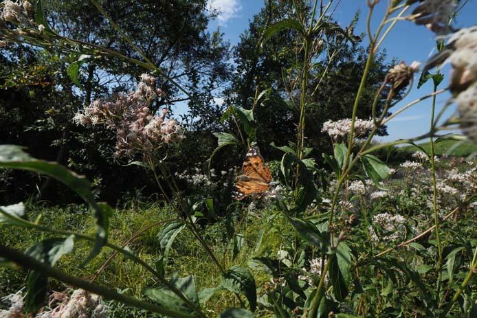 力強く吸蜜する蝶たち_d0149245_15260954.jpg