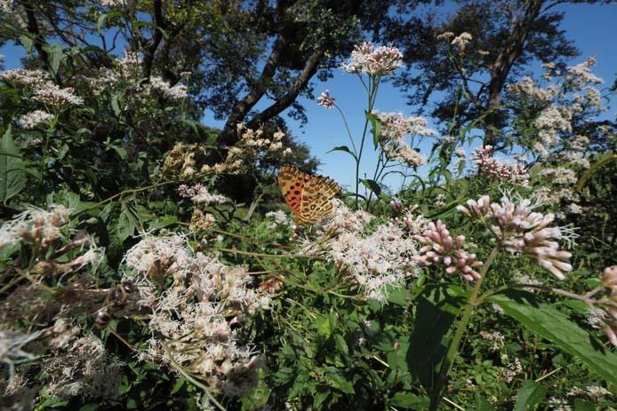 力強く吸蜜する蝶たち_d0149245_15261387.jpg