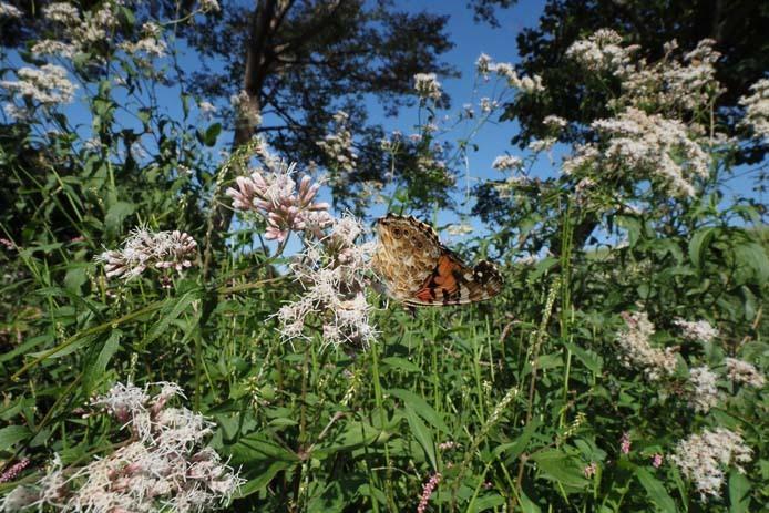 力強く吸蜜する蝶たち_d0149245_15261835.jpg