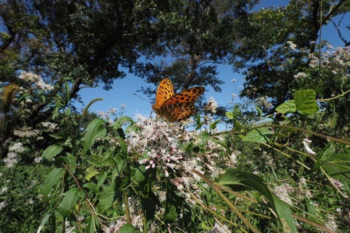 力強く吸蜜する蝶たち_d0149245_15262139.jpg