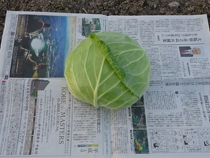 秋キャベツ初収穫_f0089748_20053110.jpg