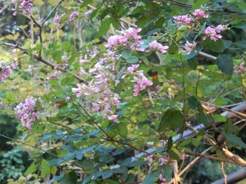 萩の花咲き、祭りが近い_e0175370_21093409.jpg