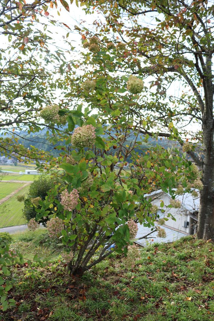 秋色ノリウツギと裏山から見える風景_c0334574_19223702.jpg