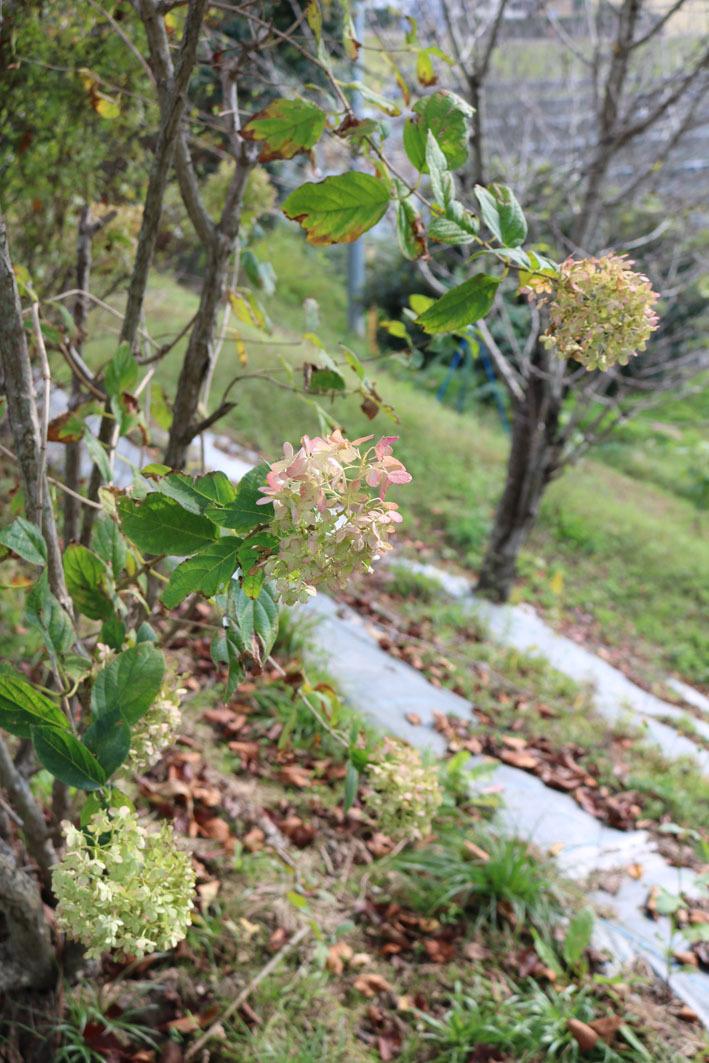 秋色ノリウツギと裏山から見える風景_c0334574_19225473.jpg
