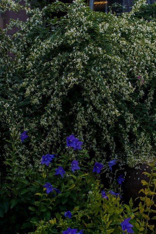 元興寺の萩と季節の花々_e0363038_14594455.jpg