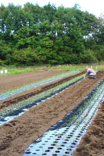 タマネギ苗を植える(2019年7月収穫予定)_c0110869_12435321.jpg
