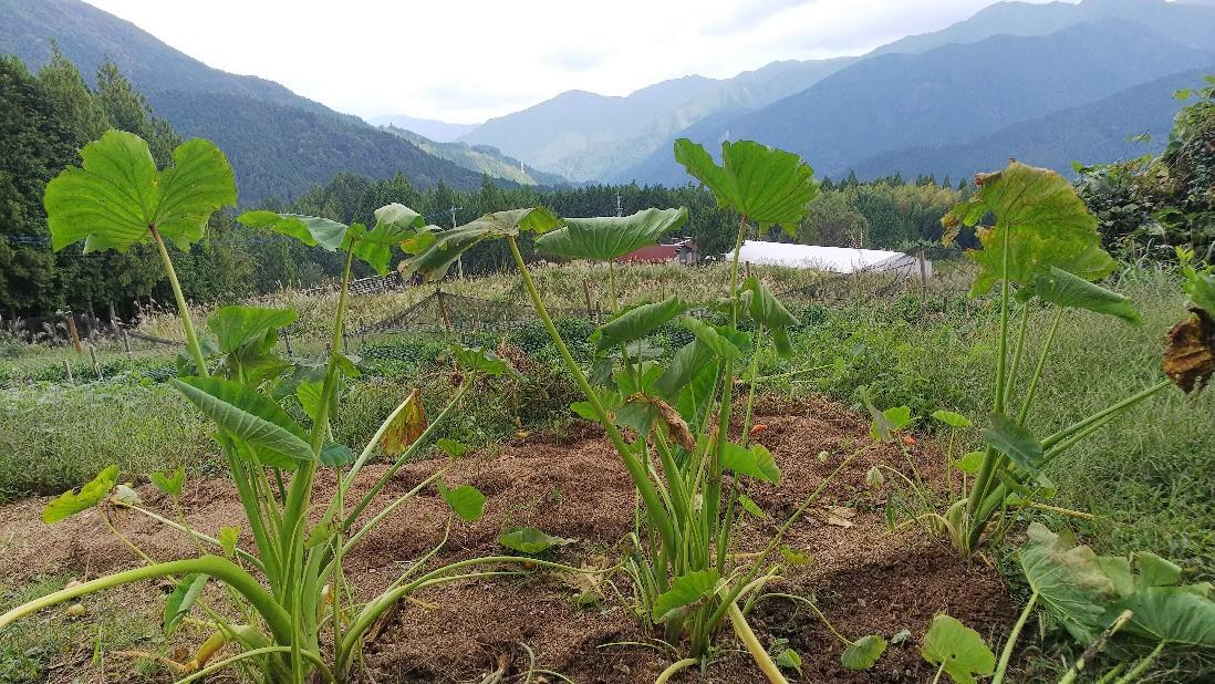 落花生と里芋を収穫。..._e0226604_17175099.jpg