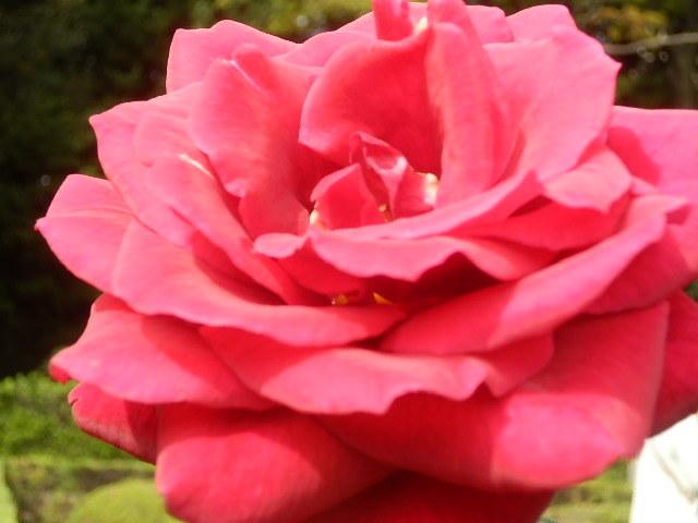 秋バラを楽しみに旧古河庭園へ_e0378686_09525708.jpg