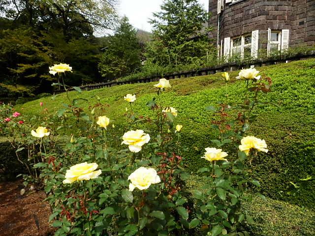 秋バラを楽しみに旧古河庭園へ_e0378686_09531739.jpg