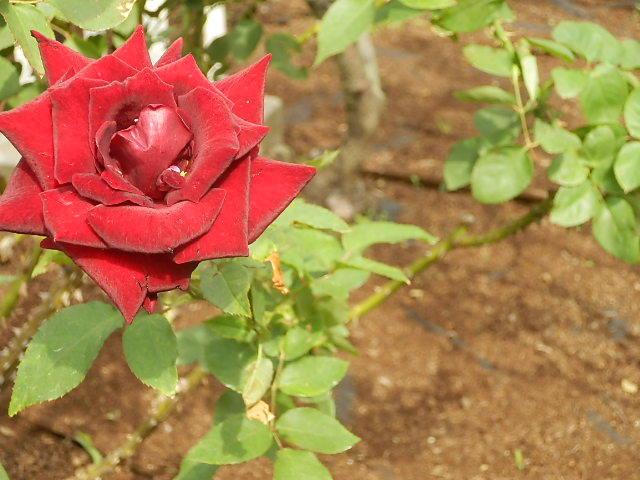 秋バラを楽しみに旧古河庭園へ_e0378686_09533333.jpg