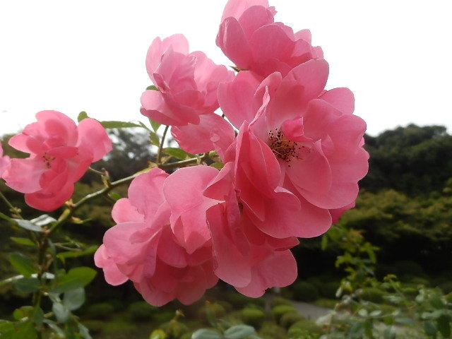 秋バラを楽しみに旧古河庭園へ_e0378686_09534378.jpg