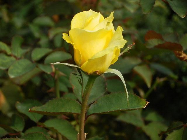 秋バラを楽しみに旧古河庭園へ_e0378686_09544167.jpg