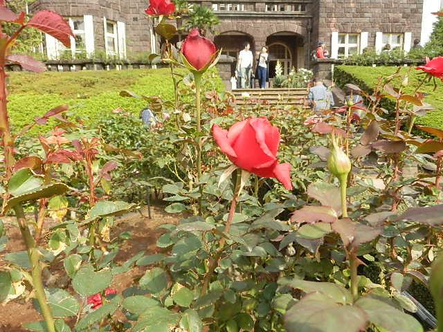 秋バラを楽しみに旧古河庭園へ_e0378686_09545900.jpg
