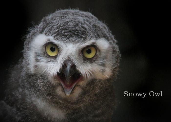 シロフクロウ:Snowy Owl _b0249597_15491203.jpg