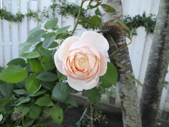 終わったお庭の冬囲いとアナベルでのリース作り_a0279743_10334553.jpg