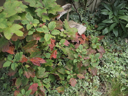 秋の庭 & 葡萄の苗_a0335560_17175830.jpg