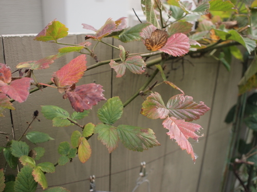 秋の庭 & 葡萄の苗_a0335560_17175885.jpg