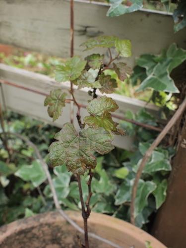 秋の庭 & 葡萄の苗_a0335560_17340297.jpg