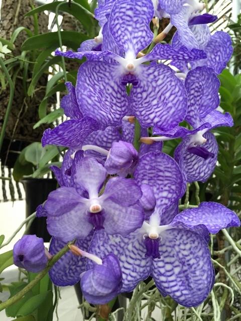 Vanda.coerulea \'Blue\'#16_d0007501_10404027.jpg