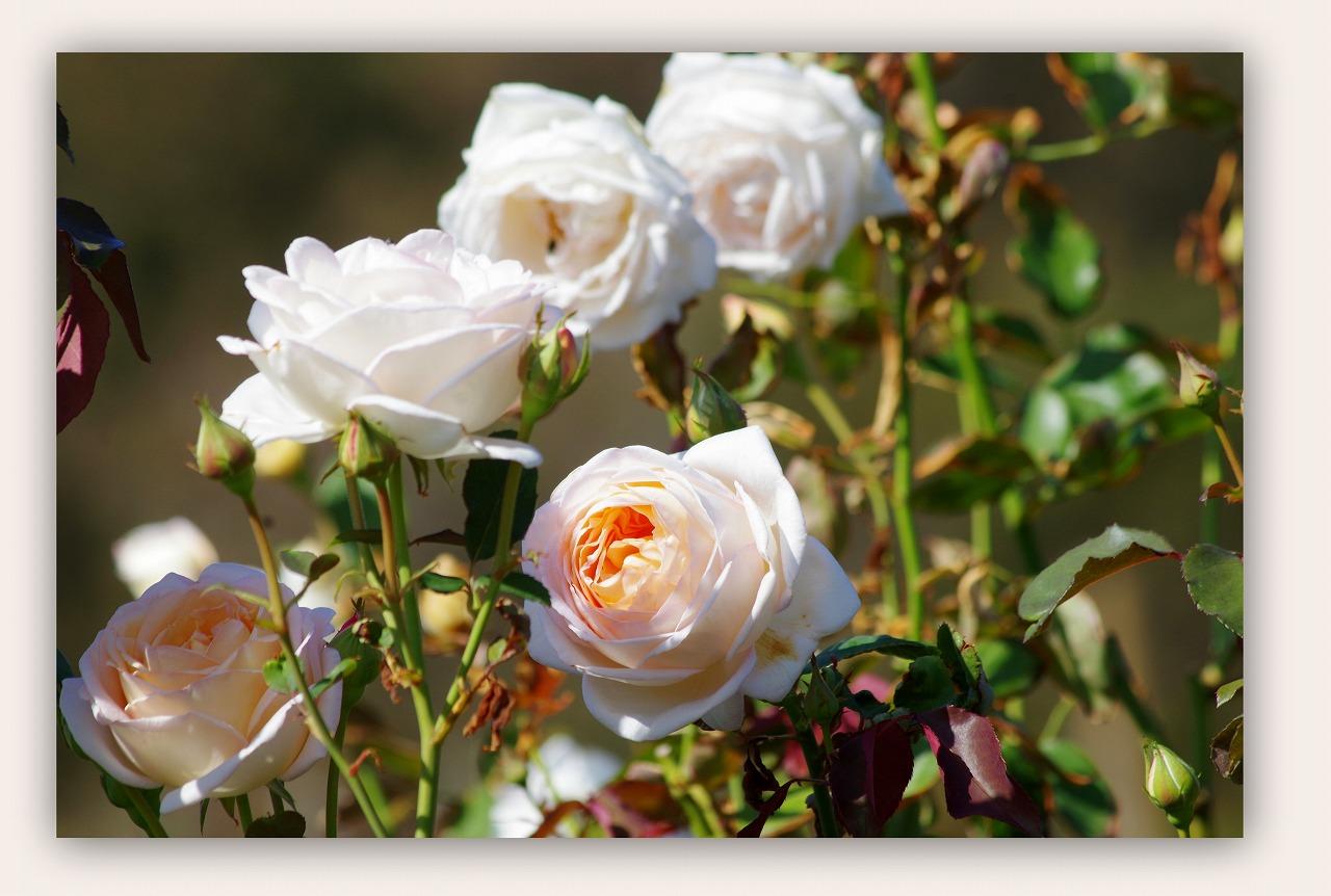 秋バラに魅了され_d0147812_20425662.jpg