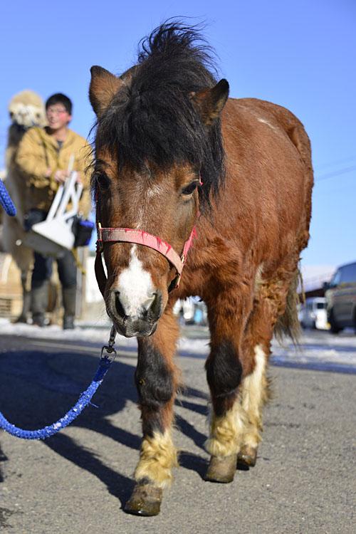 2018.1.7 東北サファリパーク☆ポニーのミカゲちゃん【Pony】_f0250322_21144111.jpg