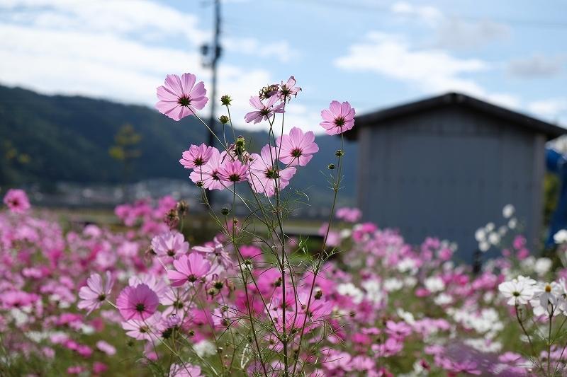 秋桜_e0374932_06260889.jpg