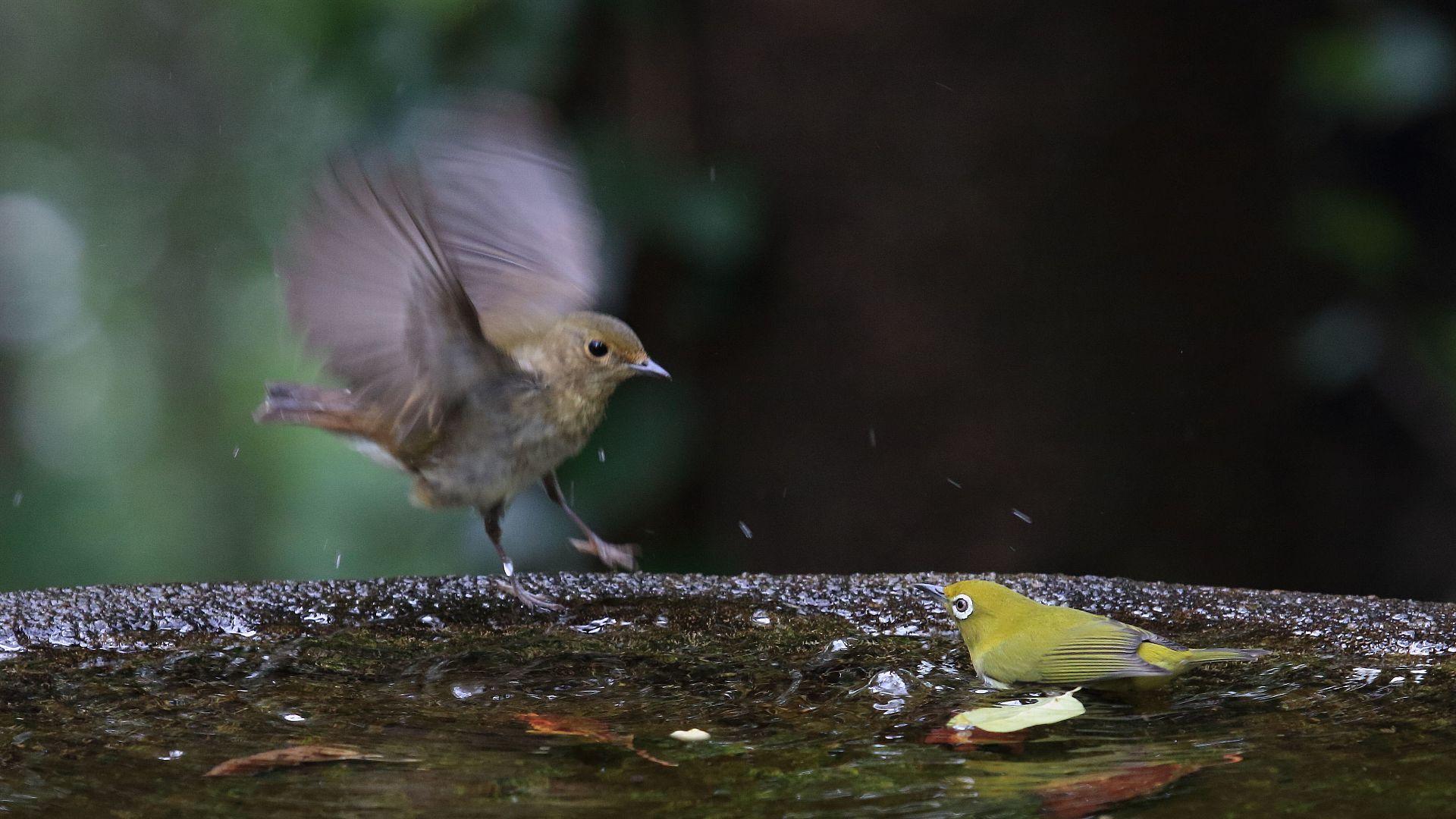 メジロに水場から追い出されるキビタキ幼鳥_f0105570_21312142.jpg