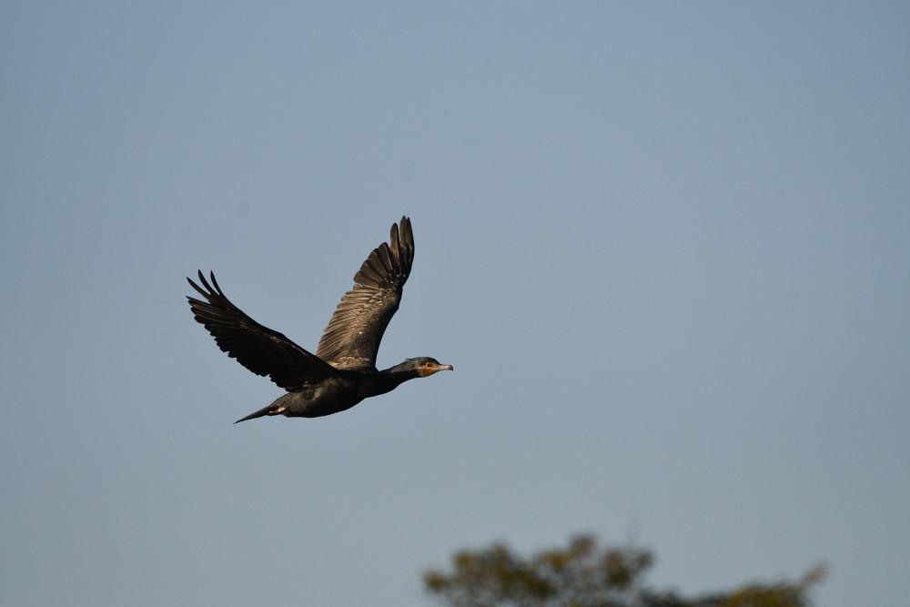 水鳥の飛翔シーン_f0202686_19261584.jpg