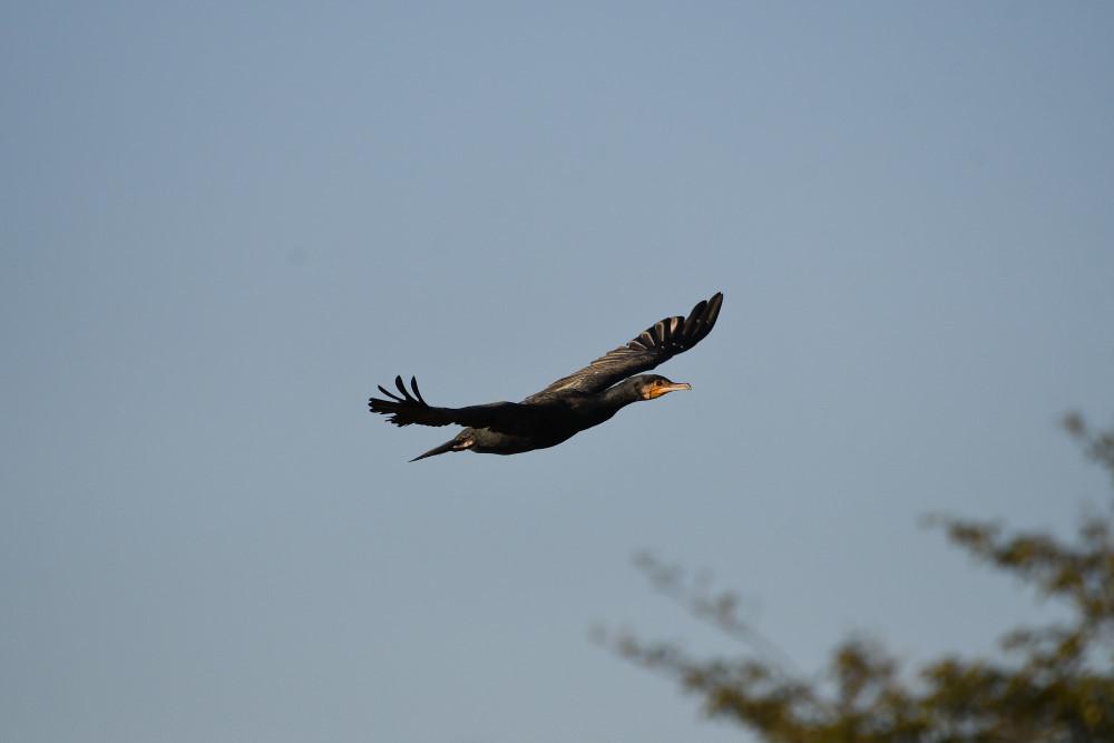 水鳥の飛翔シーン_f0202686_19262050.jpg